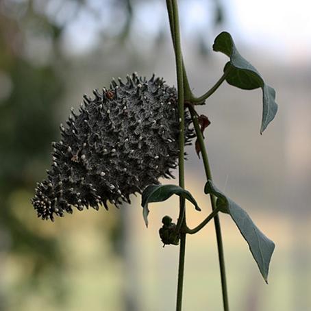 schwarzfrucht.jpg