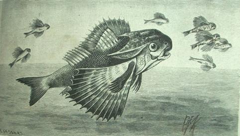 dactylopterus.jpg